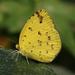 Eurema hecabe hecabe - Photo (c) Shriram Bhakare,  זכויות יוצרים חלקיות (CC BY-NC)