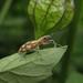 Naupactus bellus - Photo (c) edsonrobertopotim, osa oikeuksista pidätetään (CC BY-NC)