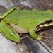 Pseudacris sierra - Photo (c) Natalie McNear, algunos derechos reservados (CC BY-NC)