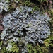 Powdered Fringe Lichen - Photo (c) Rob Curtis, some rights reserved (CC BY-NC-SA)