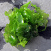 Broadleaf Sea Lettuce - Photo (c) vanhoutan, some rights reserved (CC BY), uploaded by Kyle Van Houtan