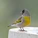 Lawrence's Goldfinch - Photo (c) Jerry Oldenettel, some rights reserved (CC BY-NC-SA)