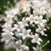 Valeriana - Photo (c) Jason Headley,  זכויות יוצרים חלקיות (CC BY-NC)