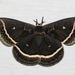 Calleta Silkmoth - Photo (c) BJ Stacey, some rights reserved (CC BY-NC)