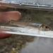 Pimephales vigilax - Photo (c) Daryl Coldren, osa oikeuksista pidätetään (CC BY-NC)