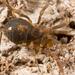 Triaenonychoides - Photo (c) Gonzalo Giribet, algunos derechos reservados (CC BY-NC)