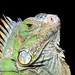 Typical Iguanas - Photo (c) Salvador Herrera, some rights reserved (CC BY-NC)