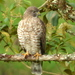 Broad-winged Hawk - Photo (c) Alejandro  Bayer Tamayo, some rights reserved (CC BY-SA)