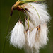 Cottongrass - Photo (c) Amadej Trnkoczy, some rights reserved (CC BY-NC-SA)