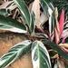 Stromanthe thalia - Photo (c) Wai Shing, osa oikeuksista pidätetään (CC BY-NC)