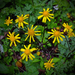 Golden Ragwort - Photo (c) Nicholas, some rights reserved (CC BY)