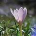 Colchicum alpinum - Photo (c) Clopin clopant, alguns direitos reservados (CC BY-NC)