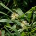 Hakea salicifolia - Photo (c) James Gaither, algunos derechos reservados (CC BY-NC-ND)