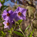 Bluewitch Nightshade - Photo (c) Franco Folini, some rights reserved (CC BY)