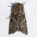 Spectacled Nettle Moth - Photo (c) Ilona L, some rights reserved (CC BY-NC-SA)