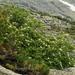 Sorbus sibirica - Photo (c) petr_kosachev, algunos derechos reservados (CC BY-NC)