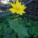 Arnica cordifolia - Photo (c) dgreenberger,  זכויות יוצרים חלקיות (CC BY-NC-ND)