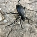 Desert Stink Beetles - Photo (c) Rogelio, some rights reserved (CC BY-NC)