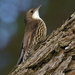 White-throated Treecreeper - Photo (c) David Cook, some rights reserved (CC BY-NC)