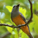 Black-faced Monarch - Photo (c) David Cook, some rights reserved (CC BY-NC)