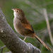 Eastern Bristlebird - Photo (c) David Cook, some rights reserved (CC BY-NC)