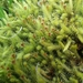 Wild Moss - Photo (c) Colin Meurk, some rights reserved (CC BY-SA)