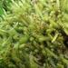 Breutelia affinis - Photo (c) Colin Meurk, algunos derechos reservados (CC BY-SA)