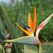 Flor de Ave del Paraíso - Photo (c) kimdavid53, algunos derechos reservados (CC BY-NC)