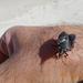 Mecocephala bonariensis - Photo (c) Klaus Riede, algunos derechos reservados (CC BY-NC)