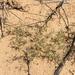 Munroa squarrosa - Photo Oikeuksia ei pidätetä