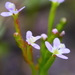 Small Triggerplant - Photo (c) Bernadette Lingham, some rights reserved (CC BY-NC)
