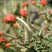 Cladonia macilenta - Photo (c) Amadej Trnkoczy, algunos derechos reservados (CC BY-NC-SA)