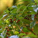 Shiny-leaved Wild Coffee - Photo (c) Mary Keim, some rights reserved (CC BY-NC-SA)