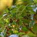 Psychotria nervosa - Photo (c) Mary Keim, algunos derechos reservados (CC BY-NC-SA)