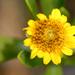 Borrichia - Photo (c) Sam Fraser-Smith,  זכויות יוצרים חלקיות (CC BY)