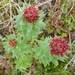Rhodiola rosea - Photo (c) Travis, μερικά δικαιώματα διατηρούνται (CC BY-NC)