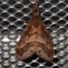 Cifuna locuples - Photo (c) sunnetchan, algunos derechos reservados (CC BY-NC-SA)