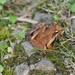 Rana japonica - Photo (c) harum.koh, algunos derechos reservados (CC BY-SA)