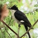 Pied Cuckoo - Photo (c) Elavarasan M, some rights reserved (CC BY-NC)