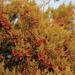 Juniperus turbinata - Photo (c) gentoo, algunos derechos reservados (CC BY-NC)