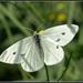 Mariposa Blanca de la Col - Photo (c) Eran Finkle, algunos derechos reservados (CC BY)