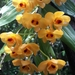 Dendrobium chrysanthum - Photo (c) Phuentsho, some rights reserved (CC BY-NC-SA)