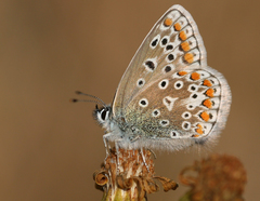 Polyommatus icarus - Photo (c) Dean Morley, μερικά δικαιώματα διατηρούνται (CC BY-ND)