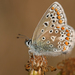 Common Blue - Photo (c) Dean Morley, some rights reserved (CC BY-ND)