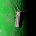Aurotalis similis - Photo (c) Roelof van der Breggen, some rights reserved (CC BY-NC)