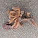Flustrellidra corniculata - Photo (c) Gena Bentall, μερικά δικαιώματα διατηρούνται (CC BY-NC)