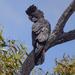 Calyptorhynchus banksii samueli - Photo (c) nishanw, some rights reserved (CC BY-NC)