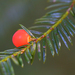 Taxus brevifolia - Photo (c) abe_katrina,  זכויות יוצרים חלקיות (CC BY-NC), uploaded by T. Abe Lloyd