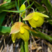 Calochortus pulchellus - Photo (c) Ken-ichi Ueda,  זכויות יוצרים חלקיות (CC BY), uploaded by Ken-ichi Ueda