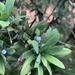 Podocarpus latifolius - Photo (c) Troos van der Merwe, algunos derechos reservados (CC BY-NC)
